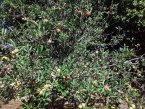 Apples on Tree 2015
